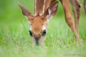 a young fawn looks up while feeding