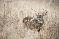 a scrappy 8 point stands in a weed field