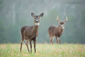 a doe is in focus in a field with buck behind her