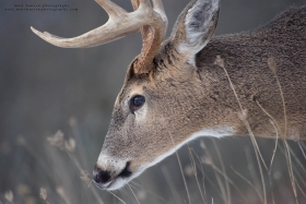 a close up profile view of a buck in winter