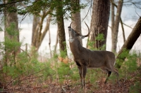 a big buck does a scrape in a pine forest