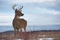 a buck stands in a winter field
