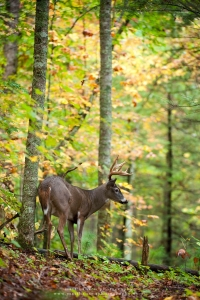 a buck stands on a forest side slope