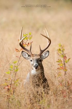 a tall 8 point looks head on in a field