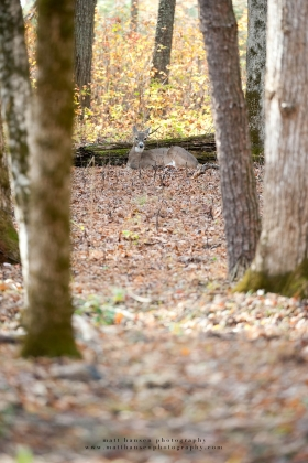 a doe is small in the frame bedded in woods