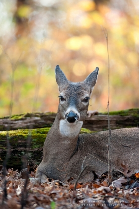 a doe portrait while bedded in fall woods