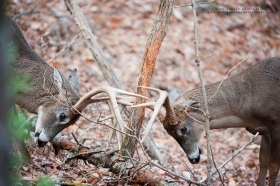 bucks spar around a rub in woods