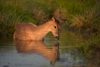a young buck lays down in a summer pool of water, looking at his reflection