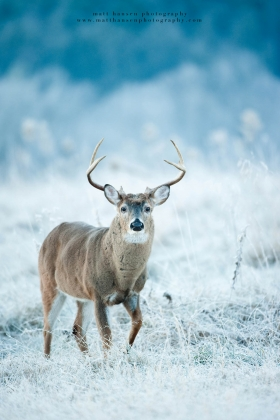 a beat up whitetail steps in a frosty field