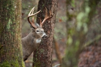A big 8 point buck stands in a rainy forest