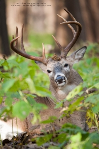a heavy whitetail buck beds in a northern forest and looks at the camera