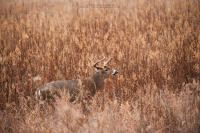 A 10 point buck looks up in a environmental image