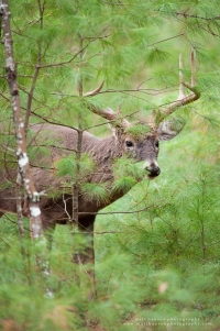 A hesitant buck peeks out from behind an evergreen