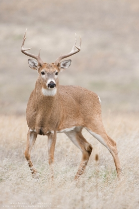 A wide 8 point alertly steps.