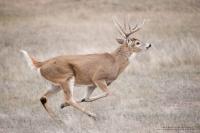 A huge buck runs across a field