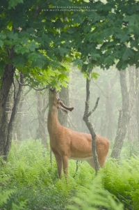 A whitetail buck eats off a tree in a rainy summer forest.