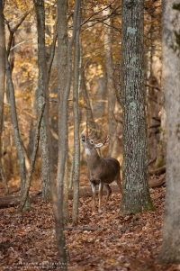 A buck reaches for a licking branch in a forest.