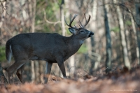 A large bodied 9 point buck stands in a forest.