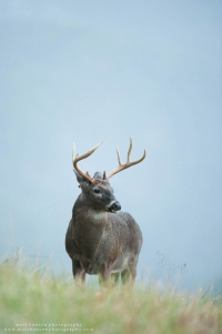 A buck with broken antlers stands on a ridge.