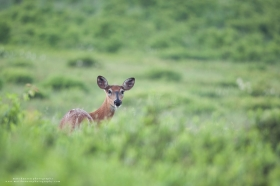 A doe turns around alertly in a summer field