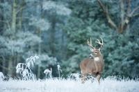 A 8 point buck stands in a frosty winter field.