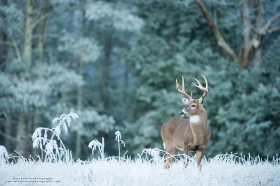 A 8 point buck stands in a frosty winter field.