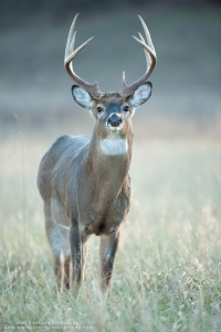 A big 8 point buck lifts his nose in a winter field.