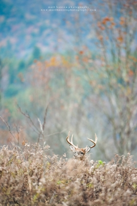 A 8 point buck peers over a ridge in an environmental autumn setting.