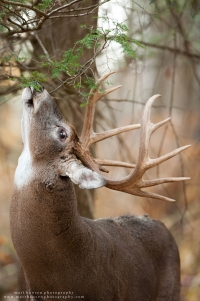 A huge 11 point buck refreshes a licking branch in a forest.