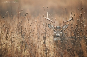 A rutting buck blends into his surroundings on a fall morning.