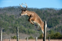 A 6 point buck jumps over a fence.