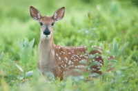 A whitetail fawn portrait in a lush summer field