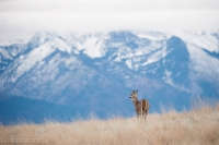 A doe looks around on a ridge with mountains in the background.