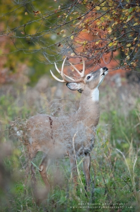 A nice 8 point buck reaches up for a licking branch while refreshing a scrape in a colorful fall setting.