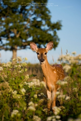 A young fawn stares at the camera in a field.