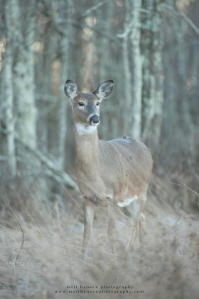 A doe looks alertly to the side in a gray field-edge.