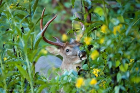 An 8 point buck eats with yellow flowers in the foreground.