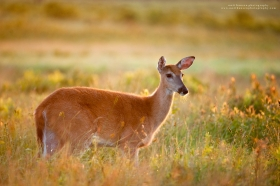 A whitetail doe looks in front of her with beautiful sunrise light hitting the setting