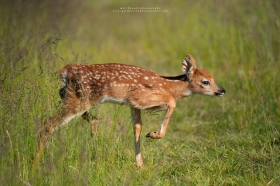 A fawn walks in a field