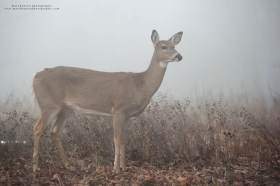 a mature doe looks forward in a foggy fall setting