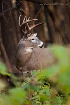 a big 9 point buck looks over his shoulder in a dark forest