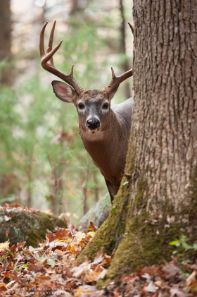 A large buck looks out from behind a tree.