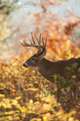 An 11 point buck walks through colorful autumn brush