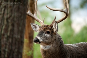 A wise old buck stares in a forest, close up.