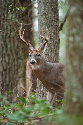 A big buck glances to the side in a forest.