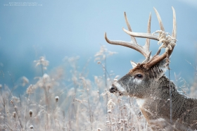 A big 8 point buck looks out over winter wild grasses with a blue mountain background