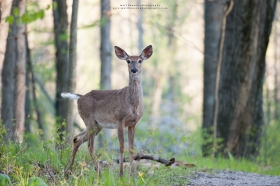 A whitetail doe flips her tail in a spring forest.