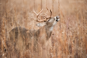 A massive whitetail buck performs a lip curl in a field.
