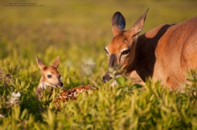 a doe cleans her fawn