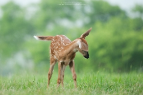 A whitetail fawn shakes off